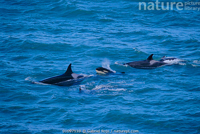 Killer whales and calf {Orcinus orca} Valdez, Patagonia, Argentina, Punta Norte, SOUTH AMERICA,DOLPHINS,MAMMALS,MARINE,COASTS,SURFACE,CUTE,FAMILIES,GROUPS,CETACEANS,BABIES,FOUR, Gabriel Rojo