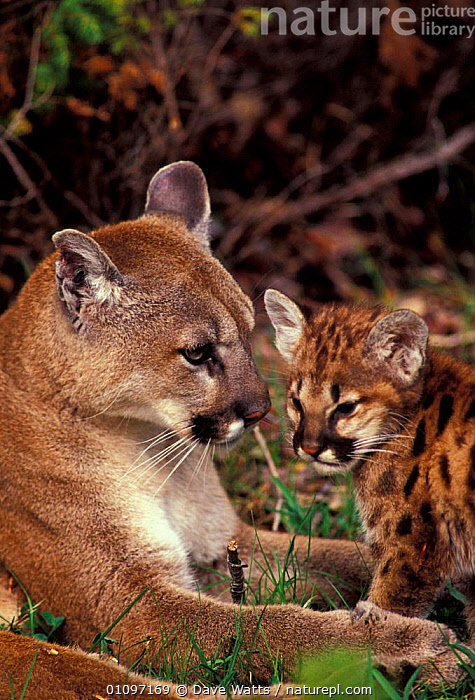 Puma with cub {Felis concolor}, VERTICAL,CARNIVORES,BABY,BABIES,AMERICA,CAPTIVE,CUTE,FAMILIES,MAMMALS,MOTHER,NORTH,AMERICA, Dave Watts