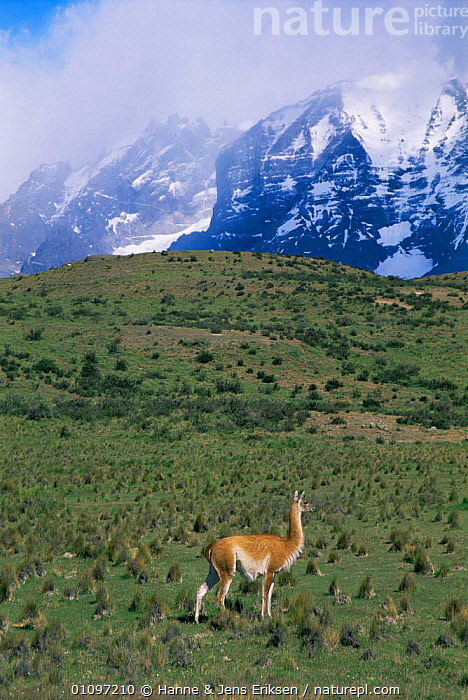 Guanaco grazing in Torres del Paine National Park, Chile, South America November 1998, ARTIODACTYLA,HIGHLANDS,LANDSCAPES,MAMMALS,MOUNTAINS,NP,SOUTH AMERICA,VERTICAL,National Park,SOUTH-AMERICA, Hanne & Jens Eriksen