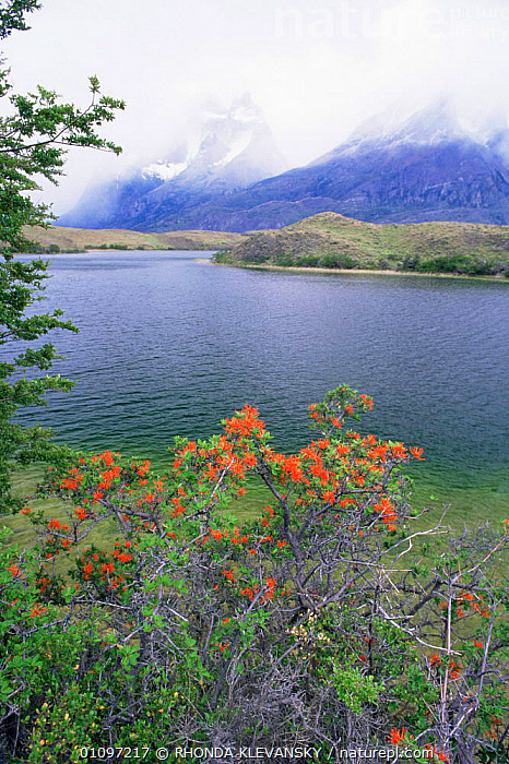 Paine Mountains in mist, with lake and fire bush {Embothrium} Torres del Paine NP, Chile, FLOWERS,HIGHLANDS,LAKES,LANDSCAPES,MIST,MOUNTAINS,NP,RESERVE,SOUTH AMERICA,VERTICAL,WATER,National Park,SOUTH-AMERICA, RHONDA KLEVANSKY