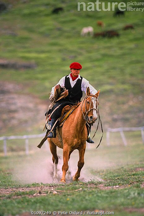 Gaucho on rodeo, breaking in wild horses, Chalten, Fitzroy, Patagonia, Argentina, ACTION,CULTURES,DOMESTIC,DOMESTICATION,HORSES,LEISURE,MAMMALS,PEOPLE,PERISSODACTYLA,SOUTH AMERICA,SPORT,TRADITIONAL,VERTICAL,WORKING,SOUTH-AMERICA, Pete Oxford