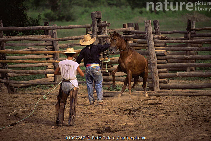 Vaqueiro / cowboys breaking in wild horse, Pantanal, Brazil, South America, COWBOYS,DOMESTIC,LIVESTOCK,MAMMALS,MAN,PEOPLE,PERISSODACTYLA,SOUTH AMERICA,TRADITIONAL,TRAINING,WETLANDS,WORKING,SOUTH-AMERICA, Pete Oxford