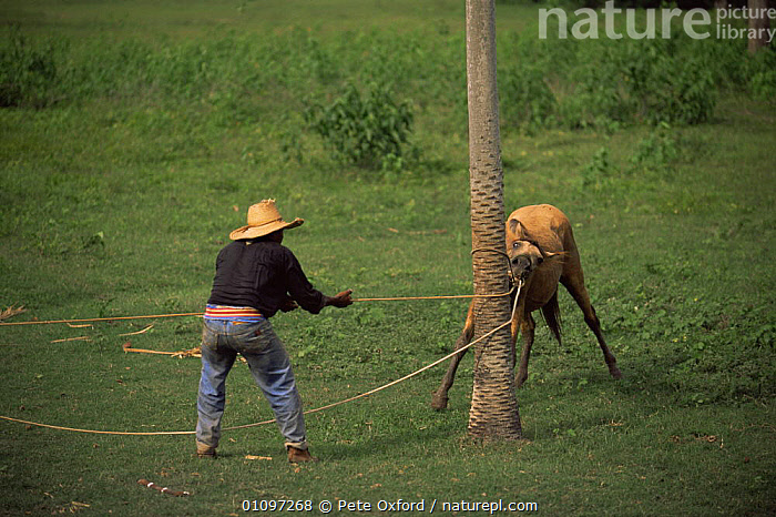 Vaqueiro / cowboy breaking in wild horse, Pantanal, Brazil, South America, DOMESTIC,LIVESTOCK,MAMMALS,MAN,PEOPLE,PERISSODACTYLA,SOUTH AMERICA,TRAINING,WETLANDS,WORKING,SOUTH-AMERICA, Pete Oxford