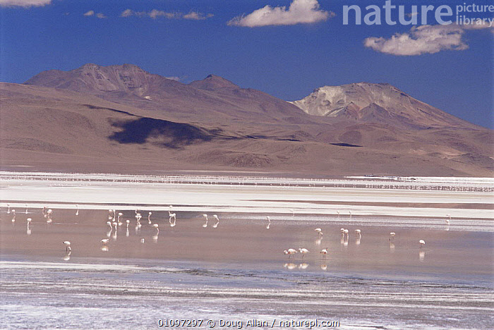 James (Phoenicoparrus jamesi) and Andean flamingoes (Phoenicoparrus andinus) feeding at Lago Colorada 4200m altitude, Bolivian Andes, Bolivia, BIRDS,FEEDING,FLOCKS,GROUPS,HIGHLANDS,LAKES,LANDSCAPES,MINERALS,MIXED SPECIES,MOUNTAINS,SALT,SALTLAKES,SOUTH AMERICA,WADING BIRDS,WATER,WETLANDS,SOUTH-AMERICA , flamingos, Doug Allan