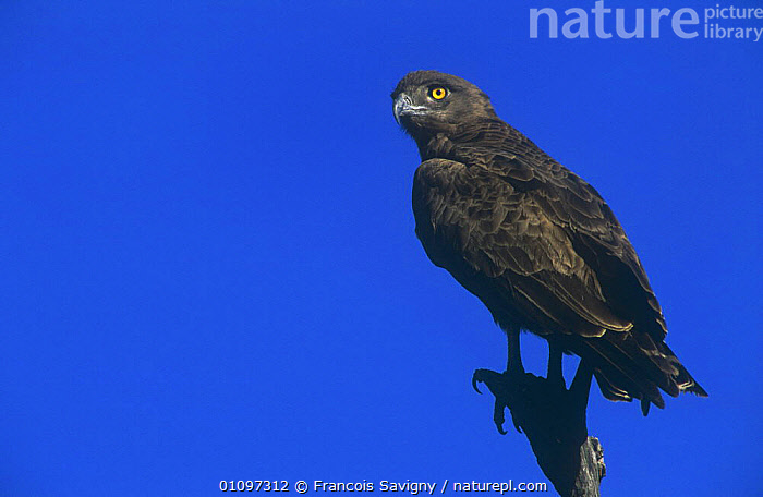 Brown snake eagle {Circaetus cinereus} perched, Kruger National Park, South Africa, BIRDS,BIRDS OF PREY,EAGLES,NP,RESERVE,SOUTHERN AFRICA,VERTEBRATES,National Park, Francois Savigny