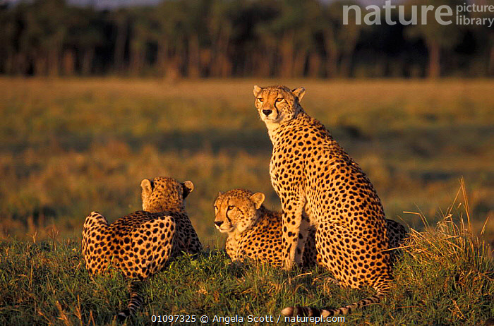 Amber and her cubs. Cheetah family {Acinonyx jubatus} Masai Mara NR, Kenya, Africa, RESTING,SPOTS,CATS,EAST,MAMMALS,RESERVE,THREE,AFRICA,SAVANNA,CARNIVORES,FAMILIES,NATIONAL,EAST AFRICA,GRASSLAND, Angela Scott