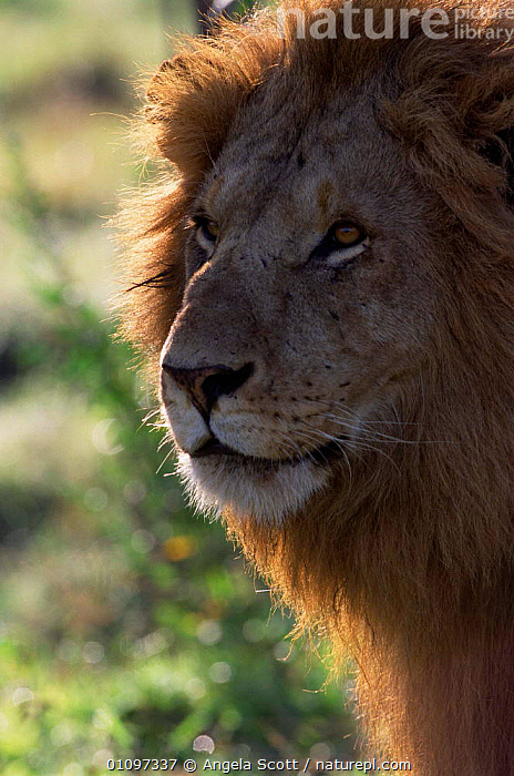 Backlit Marsh pride male Lion head portrait {Panthera leo} Masai Mara NR, Kenya, PORTRAITS,PUBLICITY,MALES,MAMMALS,LIGHT,VERTICAL,EAST,PROGRAMME,RESERVE,FACES,CATS,BBC,LIT,HEADS,NATIONAL,AFRICA,1999,BACK,MANE,EAST AFRICA,CARNIVORES,Lions,Big Cats, Angela Scott