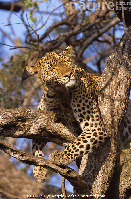 "PFemale Leopard {Panthera pardus} ""Shadow"" sleeping in tree, Big Cat Diary, Masai Mara NR, Kenya., AFRICA,BIG CATS,CARNIVORES,CATS,EAST AFRICA,FACES,HEADS,LEOPARDS,MAMMALS,PEACEFUL,SLEEPING,TREES,VERTEBRATES,VERTICAL,Concepts,Plants, Angela Scott"