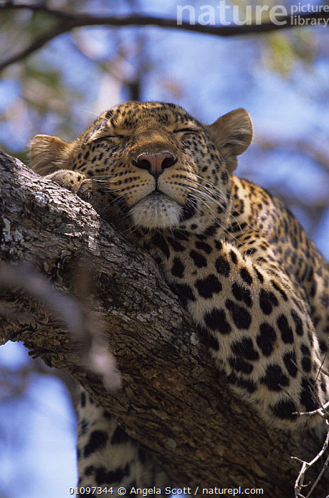 """Female Leopard {Panthera pardus} """"Shadow"""" sleeping in tree, Big Cat Diary, Masai Mara NR, Kenya., AFRICA,BIG CATS,CARNIVORES,CATS,EAST AFRICA,FACES,HEADS,LEOPARDS,MAMMALS,PEACEFUL,PORTRAITS,RESERVE,SLEEPING,TREES,VERTEBRATES,VERTICAL,Concepts,Plants, Angela Scott"""