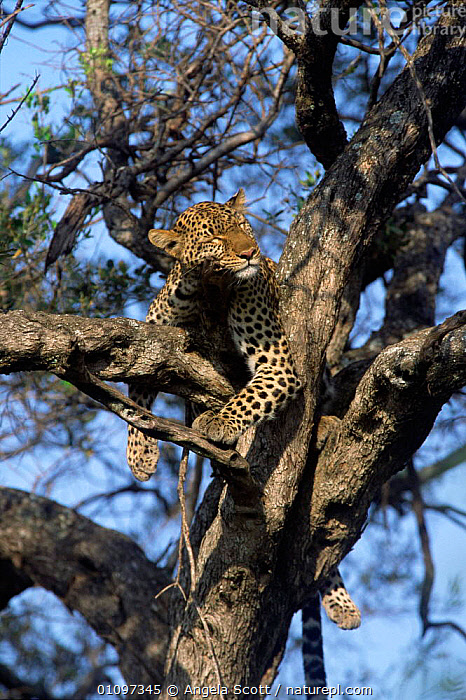 Shadow asleep in tree female leopard {Panthera pardus} Masai, CARNIVORES,FACES,EAST AFRICA,AFRICA,BBC,1999,CATS,SLEEPING,VERTICAL,REST,NATIONAL,MAMMALS,HEADS,RESERVE,TREES,PROGRAMME,PEACEFUL,PUBLICITY,RESTING,Concepts,Plants,Leopards,Big Cats, Angela Scott