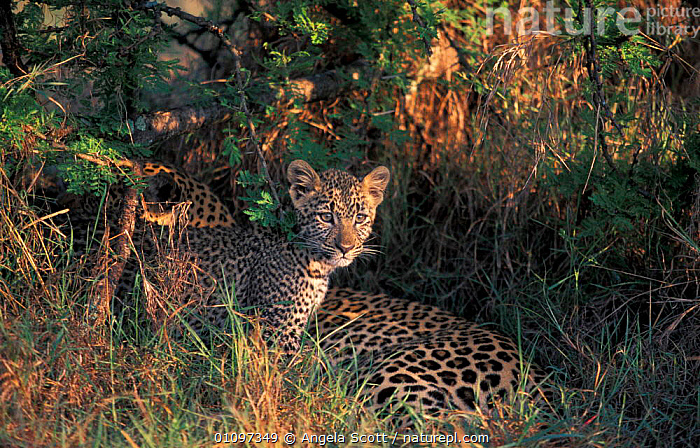 Half Tail and one small leopard cub {Panthera pardus} Mara NR, Kenya, Africa, CUBS,FAMILY,BBC,JUVENILE,MOTHER,BUSHES,CARNIVORES,RESERVE,AFRICA,CATS,NATIONAL,GRASS,CUTE,HIDING,YOUNG,EAST AFRICA,VEGETATION,MAMMALS,FAMILIES,FEMALES,PLANTS,LEOPARDS,BIG CATS, Angela Scott