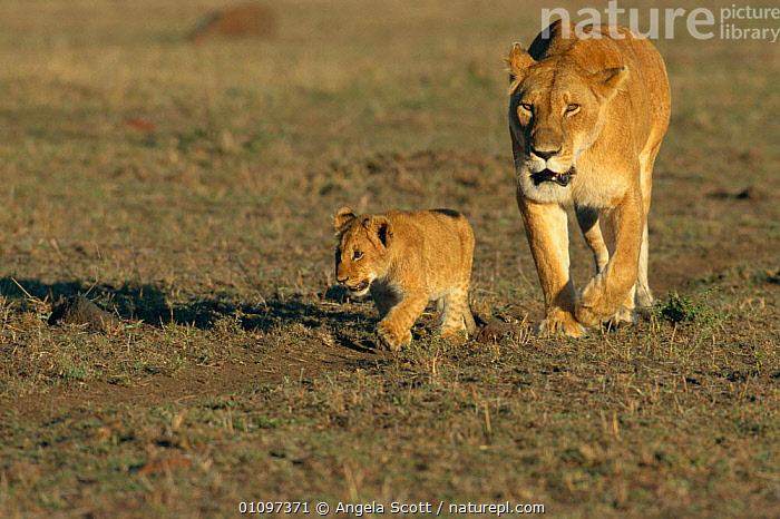 'Solo' walking with lioness mother {Panthera leo} Masai Mara NR, Kenya, East Africa, AFRICA,ASC,BABIES,BABY,CARNIVORES,CATS,CUB,CUBS,CUTE,EAST AFRICA,FAMILIES,FAMILY,FEMALES,HORIZONTAL,JUVENILE,LIONESS,MAMMALS,NR,PARENT,WALKING,YOUNG,LIONS,BIG CATS, Angela Scott
