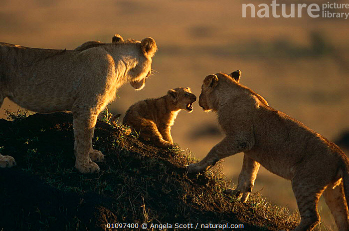Juvenile African lions playing with small cub {Panthera leo} Masai Mara NR, Kenya, BABIES,BIG CATS,CARNIVORES,EAST AFRICA,GROUPS,JUVENILE,LIONS,MAMMALS,RESERVE,SOCIAL BEHAVIOUR,VERTEBRATES,VOCALISATION,Africa, Angela Scott