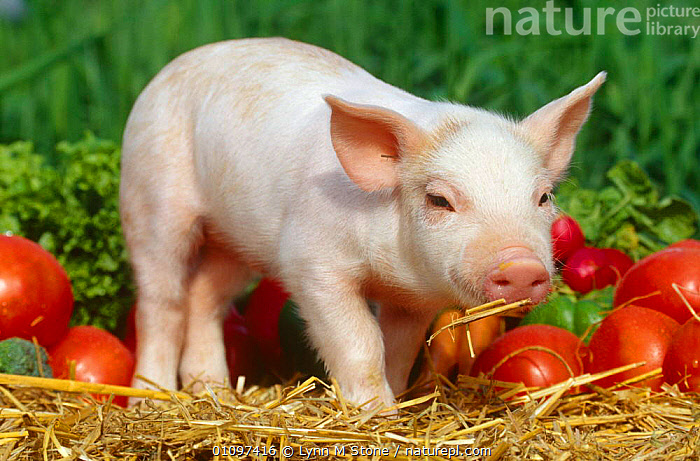 Domestic piglet with vegetables {Sus scrofa domestica} USA, ARTIODACTYLA,BABIES,CUTE,LIVESTOCK,MAMMALS,PIG,PIGS,SUIDS,USA,VEGETABLES,VERTEBRATES,North America, Lynn M Stone