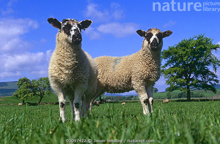 Two lambs in field {Ovis aries} Yorkshire, UK, ARTIODACTYLA,BABIES,BOVIDS,ENGLAND,EUROPE,FARMLAND,FIELDS,JUVENILE,LIVESTOCK,MAMMALS,PAIR,SHEEP,TWO,UK,VERTEBRATES,YOUNG,United Kingdom,British,Goats,Antelopes, Jason Smalley