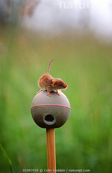 Harvest mouse on artificial nest of ball {Micromys minutus} Somerset, UK, CONSERVATION,CUTE,ENGLAND,EUROPE,MAMMALS,MICE,NESTS,RODENTS,UK,VERTEBRATES,VERTICAL,United Kingdom,British,Muridae, Colin Seddon