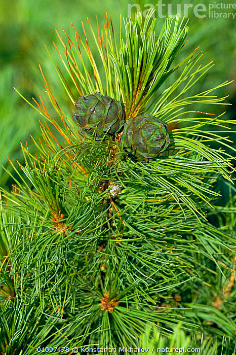 Pine cone and needles {Pinus pumila} Baikal mtns, Russia, CIS,,CONES,CONIFEROUS,HORIZONTAL,KM,LEAVES,NEEDLES,PLANTS,RUSSIA,TREES,VERTICAL, Konstantin Mikhailov