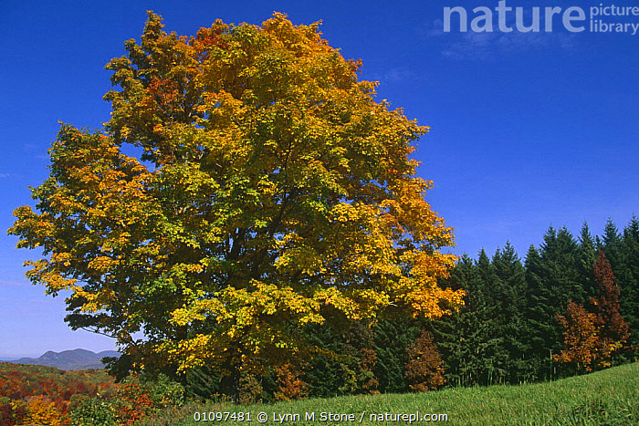 Sugar maple tree with leaves turning colour, Autumn, {Acer saccharum} Vermont, USA, ACERACEAE,AUTUMN,COUNTRYSIDE,DICOTYLEDONS,HORIZONTAL,LEAVES,PLANTS,PORTRAITS,TREES,USA,North America, Lynn M Stone