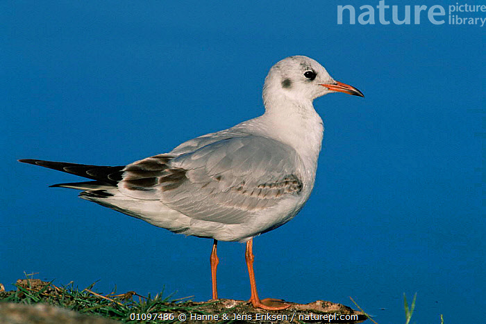 Black-headed gull, first winter plumage {Chroicocephalus ridibundus} Al Ansab, Oman, ARABIA, BIRDS, GULLS, HORIZONTAL, JUVENILE, PORTRAITS, SEABIRDS, VERTEBRATES, WINTER, Hanne & Jens Eriksen