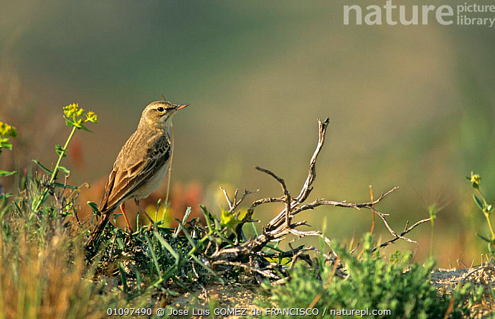 Tawny pipit portrait {Anthus campestris} Spain, Europe, BIRDS,EUROPE,HORIZONTAL,PASSERINES,PIPITS,PORTRAITS,SPAIN,VERTEBRATES, Jose Luis GOMEZ de FRANCISCO