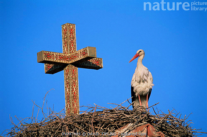 White stork nesting beside cross on roof {Ciconia ciconia} Lesbos, Greece, BIRDS,BUILDINGS,EUROPE,GREECE,HORIZONTAL,NESTS,STORKS,VERTEBRATES,WADERS,WHITE, DAVID TIPLING