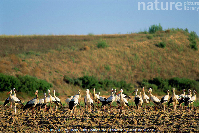 White storks in field on migration {Ciconia ciconia} Spain, SPAIN,WADERS,WADER,GROUPS,GROUP,BIRDS,BIRD,FARMLAND,FLOCKS,FLOCK,EUROPE, Jose Luis Gomez de Francisco