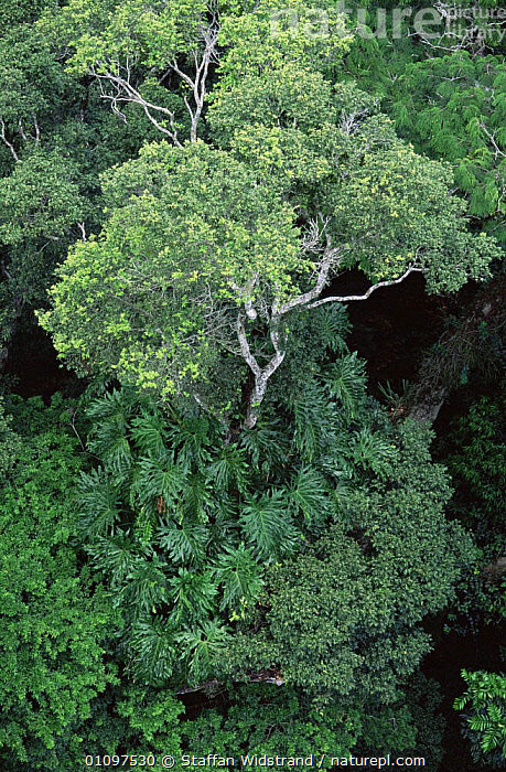 Aerial view of Philodendron vine running up tree in tropical rainforest, Manaus, Brazil, South America, AERIALS,CANOPY,GREEN,HABITAT,MIXED SPECIES,PARASITES,PLANTS,SOUTH AMERICA,TREES,TROPICAL,TROPICAL RAINFOREST,TRUNKS,VERTICAL,SOUTH-AMERICA, Staffan Widstrand