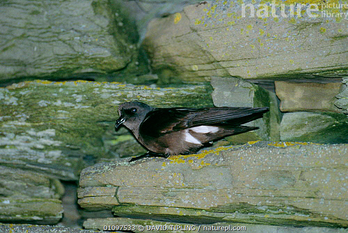 British storm petrel at nest burrow entrance {Hydrobates pelagicus} Sheltand, Scotland,, BIRD,BIRDS,BRITAIN,BROCH,EUROPE,MOUSA,NESTS,PETRELS,ROCKS,SEABIRD,SEABIRDS,UK,UNITED KINGDOM,British, DAVID TIPLING