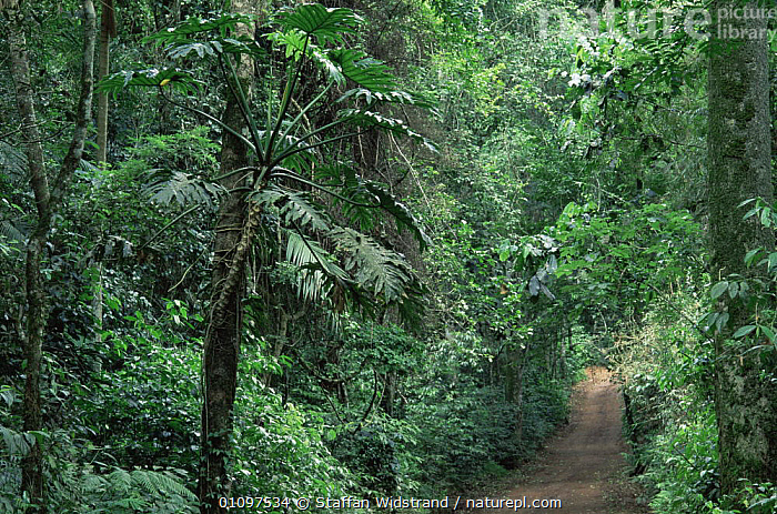 (Philodendron) vine running up tree in tropical rainforest, Manaus, Brazil, South America, GREEN,HABITAT,INTERIOR,LEAVES,PLANTS,RUNNING,SOUTH AMERICA,TREES,TROPICAL,TROPICAL RAINFOREST,TROPICS,VINES,SOUTH-AMERICA, Staffan Widstrand