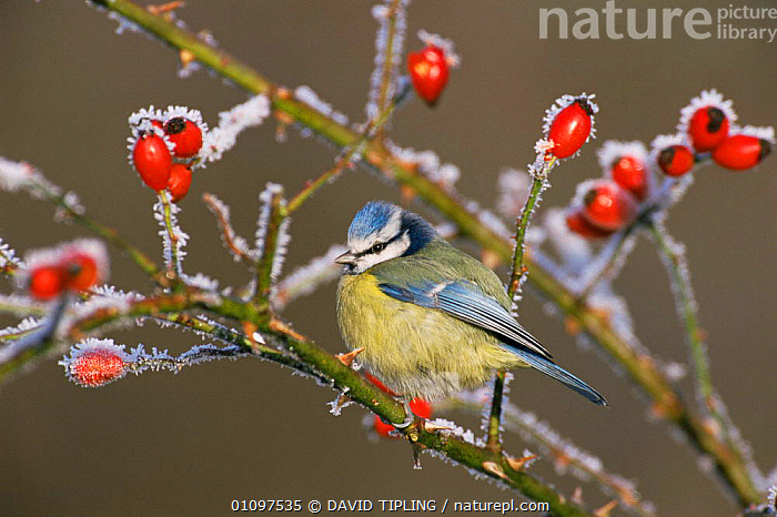 Blue tit + rose hips in winter frost {Parus caeruleus} Kent, UK, BIRDS,BLUE,COLD,ENGLAND,EUROPE,FROST,FRUIT,ICE,PLANTS,TITS,UK,VERTEBRATES,WINTER,United Kingdom,Weather,British,GettyBOV, DAVID TIPLING