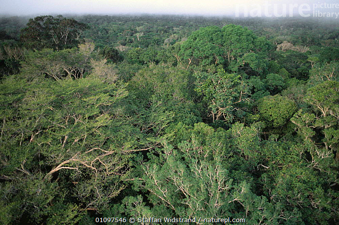 Looking out over canopy of Terra Firme Forest, Manaus, Brazil, South America, CANOPY,GREEN,HABITAT,LANDSCAPES,LEAVES,RESERVE,SOUTH AMERICA,TREES,TROPICAL,TROPICAL RAINFOREST,Plants,SOUTH-AMERICA, Staffan Widstrand