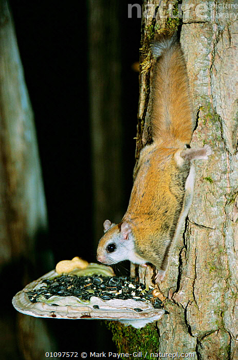 Northern flying squirrel {Glaucomys sabrinus} feeds on seeds placed on fungi. Maine, USA, FEEDING, FLYING-SQUIRRELS, FUNGI, FUNGUS, MAMMALS, NIGHT, rodents, Sciuridae, SQUIRRELS, TREES, TRUNKS, USA, VERTEBRATES, VERTICAL, WOODLANDS,PLANTS,North America, Mark Payne-Gill