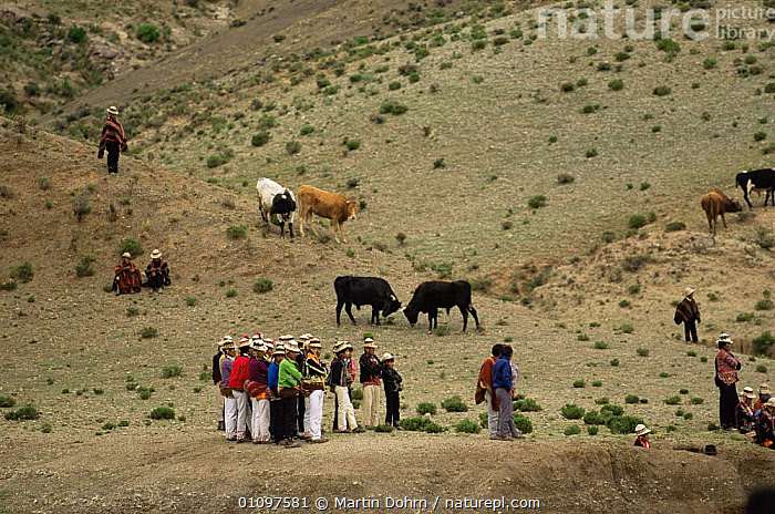 Quechua people at social event, watching a bull fight contest, Bolivia, South America, CATTLE,CHILDREN,CULTURES,FAMILIES,GROUPS,HIGHLANDS,LIVESTOCK,PEOPLE,SOUTH AMERICA,TRADITIONAL,TRIBES,SOUTH-AMERICA, Martin Dohrn