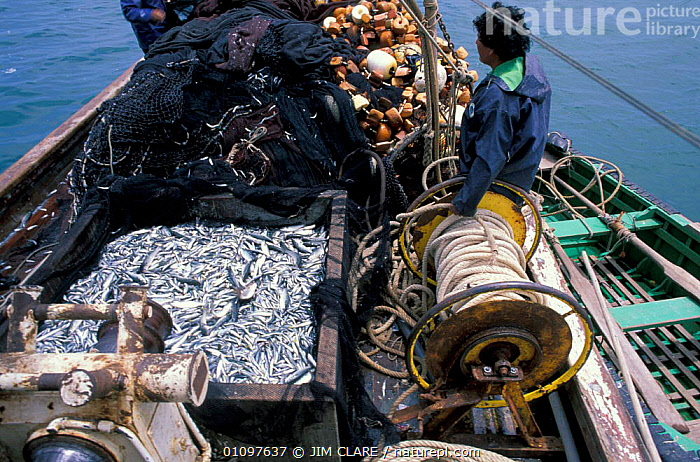 Anchoveta fishing boat with catch {Engraulis encrasicolus} Paracas, Peru, South America, BOATS,SEA,PEOPLE,MARINE,SOUTH AMERICA,OSTEICHTHYES,FISH,SOUTH-AMERICA, JIM CLARE