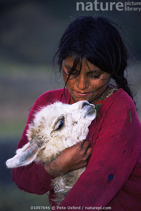 Local indian girl with domestic Llama, highlands, Andes, Peru, South America, ARTIODACTYLA,CHILDREN,CUTE,FEMALES,HEADS,HIGHLANDS,LIVESTOCK,MAMMALS,PETS,PORTRAITS,SOUTH AMERICA,VERTICAL,SOUTH-AMERICA, Pete Oxford