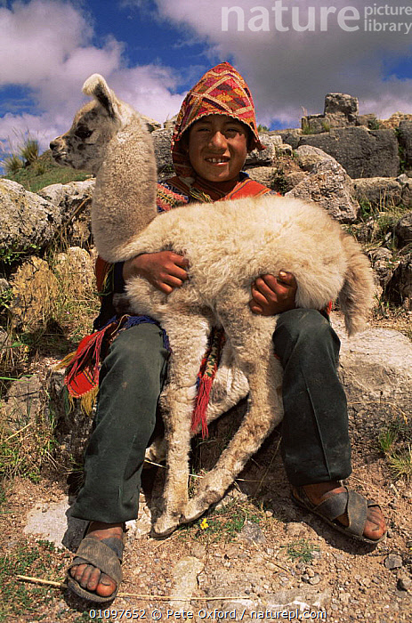 Indian boy with domestic Llama {Lama glama} outside of Cusco, Peru, South America, ARTIODACTYLA,BABIES,CLOTHING,CUTE,HEADS,HIGHLANDS,JUVENILE,LIVESTOCK,MAMMALS,PEOPLE,PORTRAITS,SOUTH AMERICA,VERTICAL,SOUTH-AMERICA, Pete Oxford