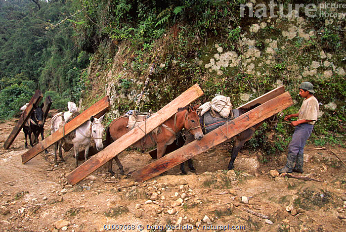 Mules hawling sawn timber, Andes at 2500m, Zamora Chinchipe, Ecuador, South America, DEFORESTATION,EXPORT,FORESTRY,HIGHLANDS,INDUSTRY,LABOUR,LIVESTOCK,MAMMALS,MOUNTAINS,PEOPLE,SOUTH AMERICA,TIMBER,TREES,TROPICAL,TROPICAL RAINFOREST,WOOD,WORKING,Plants, Doug Wechsler