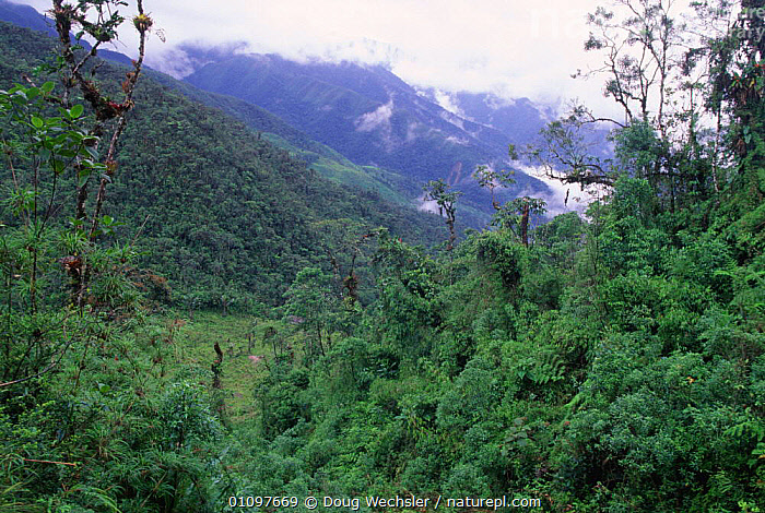 Partly cleared Cloud Forest in Andes at 2500m, Zamora Chinchipe, Ecuador, South America, CLOUD FOREST,DEFORESTATION,HABITAT,HIGHLANDS,HILLSIDES,INDUSTRY,MOUNTAINS,SLOPES,SOUTH AMERICA,TREES,TROPICAL,TROPICAL RAINFOREST,Plants, Doug Wechsler