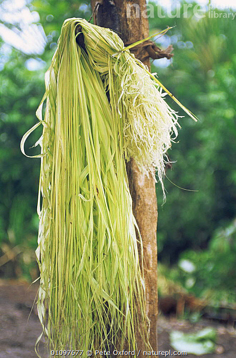 Chambira palm leaf strands drying - used to make hammocks & bags, Llanchamacocha Ecuadorian Amazon, CULTURES,PLANTS,SOUTH AMERICA,TRADITIONAL,TROPICAL,TROPICAL RAINFOREST,VERTICAL, Pete Oxford