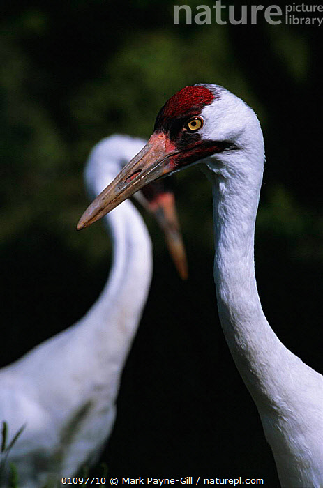 Whooping crane {Grus americana} endangered, captive at Patuxent crane centre, USA, BIRD,TWO,PORTRAITS,USA,BIRDS,PORTRAITS,CRANES,VERTICAL,North America, Mark Payne-Gill