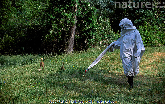 Researcher in crane costume with Whooping crane chicks Operation Migration, MD, USA., 2002,AMERICA,AMERICANUS,BABIES,BIRD,BIRDS,BREEDING,CAPTIVE,CHICK,CRANES,ENDANGERED,GROUP,GROUPS,HORIZONTAL,IMPRINTING,MARYLAND,MAY,NORTH,PROGRAMME,RESEARCH,USA,WADER,WADERS,North America, Mark Payne-Gill