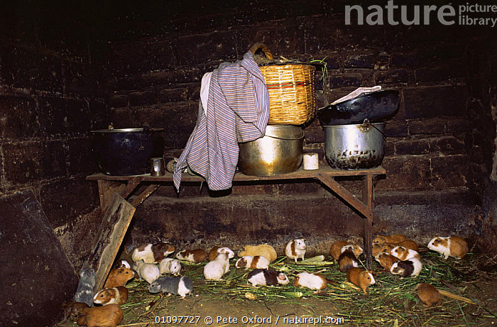 Guinea pigs kept for food in kitchen, Otovalo, Ecuadorian Andes, South America, BUILDINGS,HIGHLANDS,HOMES,HORIZONTAL,LIVESTOCK,MAMMALS,PIGS,SOUTH AMERICA, Pete Oxford