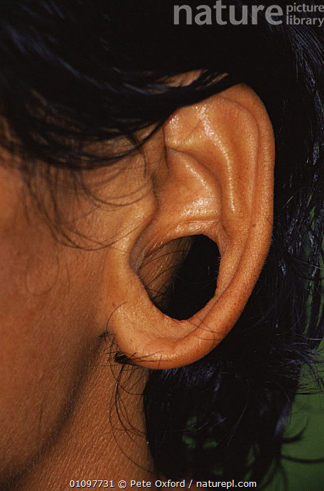 Close up of enlarged hole in ear of Huaorani indian, Dayuno, Ecuadorian Amazon, South America, CULTURES,EARS,FACES,HEADS,PEOPLE,SOUTH AMERICA,TRADITIONAL,TRIBES,VERTICAL, Pete Oxford