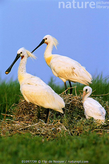 White spoonbill pair with chick {Platalea leucorodia} Holland, MALE,BABIES,NESTS,WETLANDS,WADER,BIRD,BIRDS,NETHERLANDS,SPOONBILLS,FEMALE,MALE FEMALE PAIR,PORTRAITS,NEST,THREE,PORTRAITS,WADERS,CHICKS,FAMILIES,VERTICAL,EUROPE,FAMILY, Flip de Nooyer