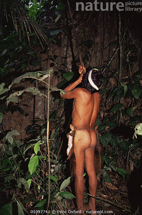 Huaorani Indian hunting squirrels in rainforest, Ecuadorian Amazon South America, CULTURES,HUNTING,HUNTING FOOD,MALES,MAN,PEOPLE,SOUTH AMERICA,SQUIRRELS,TRADITIONAL,TREES,TRIBES,TROPICAL,TROPICAL RAINFOREST,VERTICAL,Plants, Pete Oxford