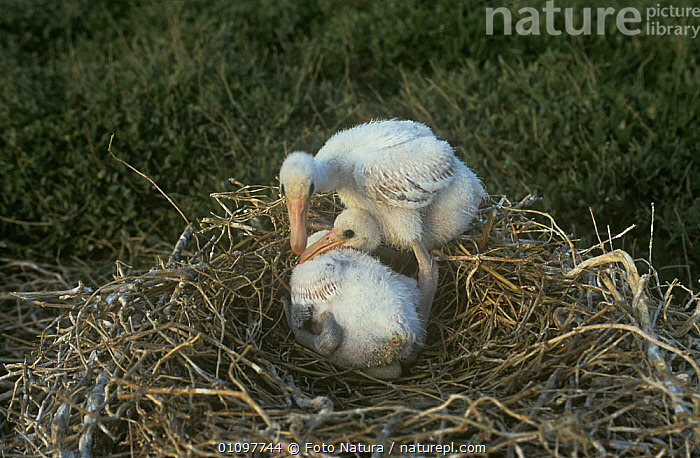 White spoonbill {Platalea leucorodia} two chicks in nest, The Netherlands, BABIES,BIRDS,CHICKS,EUROPE,HOLLAND,NESTS,SPOONBILLS,VERTEBRATES,WETLANDS, Foto Natura