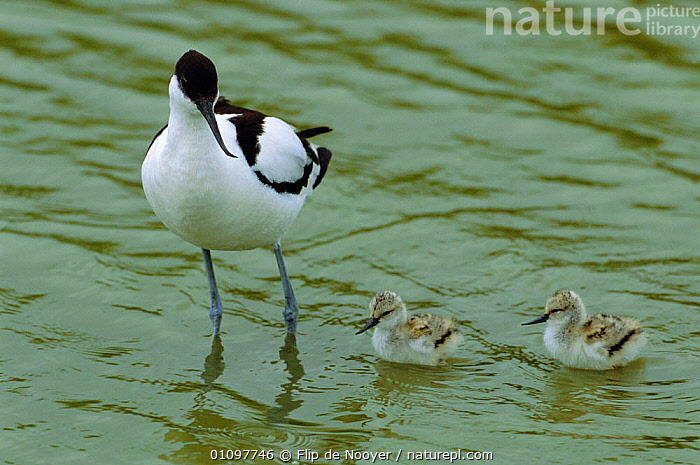 Avocet with chicks {Recurvirostra avosetta} The Netherlands, HOLLAND,WADERS,WATER,AVOCETS,FAMILIES,BIRD,FAMILY,BABIES,CHICKS,EUROPE,BIRDS,COAST,WADER,COASTS, Flip de Nooyer