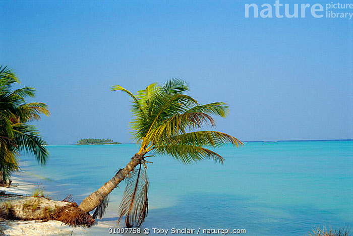 Coconut palm tree on beach {Cocos nucifera} Lakshadweep, Laccadive islands, Indian ocean, DISPERSAL,PLANT,TREES,BEACHES,LANDSCAPE,COASTS,TROPICAL,COAST,INDIA,SAND,LANDSCAPES,PLANTS,SCENIC,INDIAN-SUBCONTINENT,Asia,INDIAN OCEAN ISLANDS, Toby Sinclair