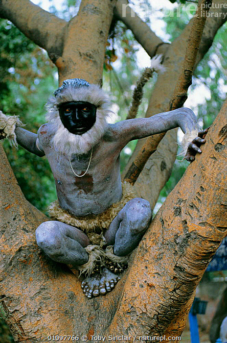 Man impersonating Langur New Delhi, India - in honour of Hindu god Hanuman, MAMMAL,LANDSCAPES,COSTUME,DISGUISED,FESTIVAL,INDIAN SUBCONTINENT,MONKEY,VERTICAL,ANIMAL,MAMMALS,TREE,PEOPLE,DRESSED,TRADITIONAL,PRIMATES,ASIA,INDIAN-SUBCONTINENT, Toby Sinclair