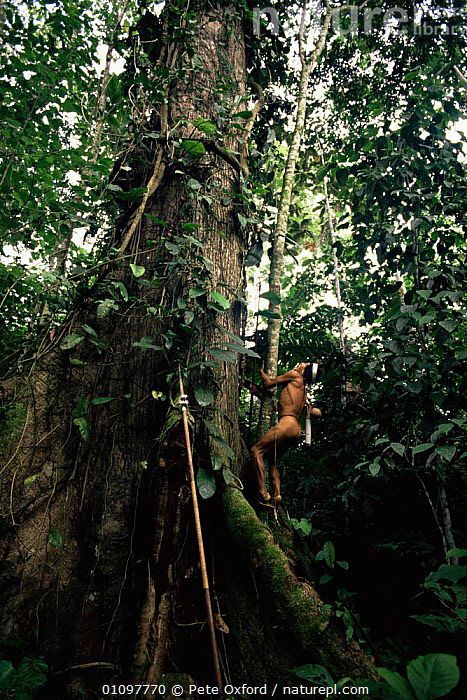 Huaorani Indian climbing tree with blow gun / dart propped against tree, Ecuadorian Amazon, South America., CANOPY,CLIMBING,CULTURES,HABITAT,HUNTING,HUNTING FOOD,PEOPLE,SOUTH AMERICA,TRADITIONAL,TREES,TRIBES,TROPICAL,TROPICAL RAINFOREST,VERTICAL,Plants, Pete Oxford